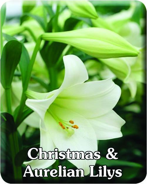 Christmas & Aurelian Lilys