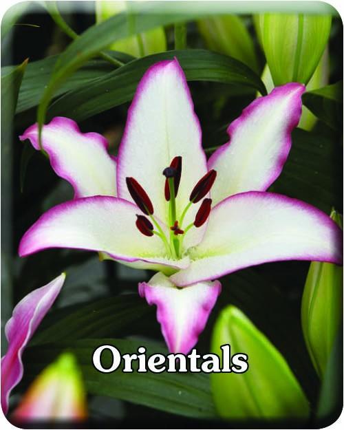 Oriental Lilys