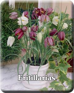 Fritillaria Flower Bulbs
