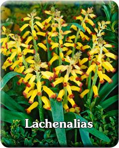 Lachenalia Flower Bulbs