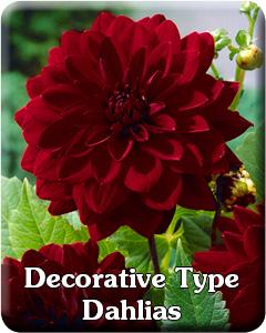 Decorative Dahlia Flower Bulbs
