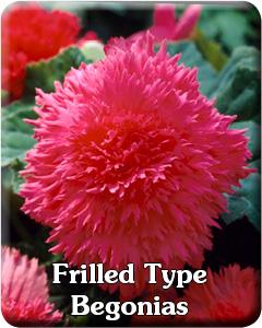 Frilled Type Begonias