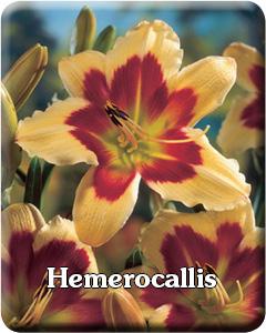 Potted Hemerocallis