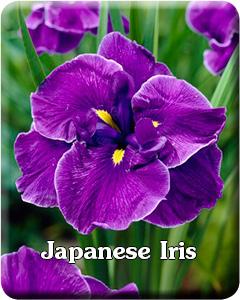 Potted Japanese Iris
