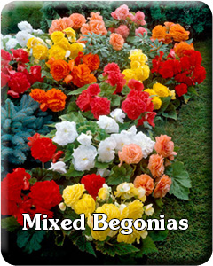 Mixed Begonia Flower Bulbs