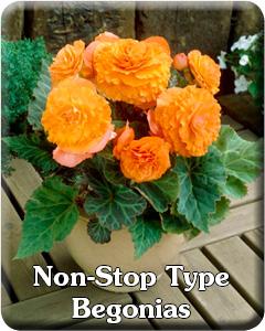 Non-Stop Type Begonias