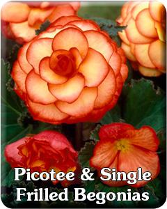 Picotee & Single Frilled Type Begonias