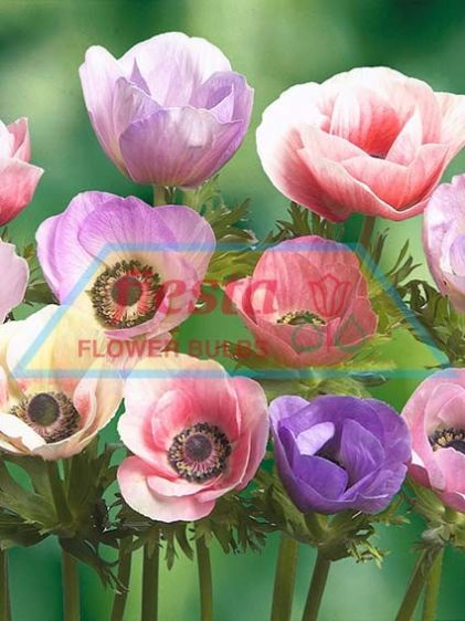 http://www.fiestabulbs.co.nz/products/images/Anemone_Pastel_Mixed.jpg