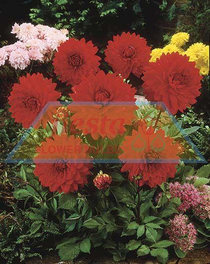 http://www.fiestabulbs.co.nz/products/images/Garden_Wonder.jpg