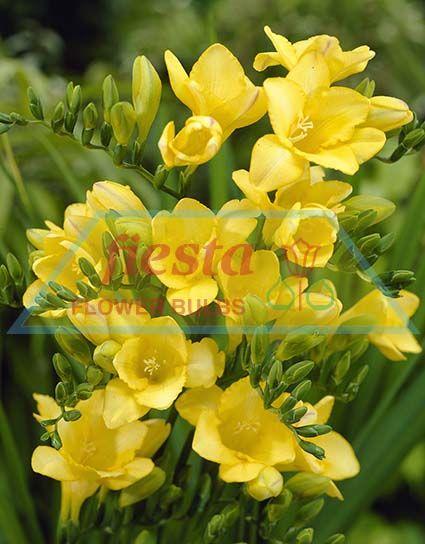 golden melody freesias spring bulbs flower bulbs fiesta bulb marketing. Black Bedroom Furniture Sets. Home Design Ideas