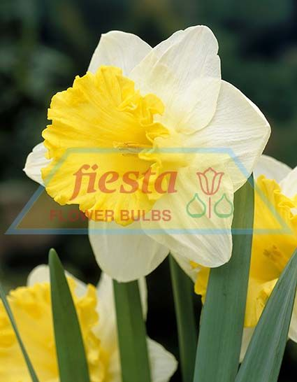http://www.fiestabulbs.co.nz/products/images/Las_Vegas.jpg