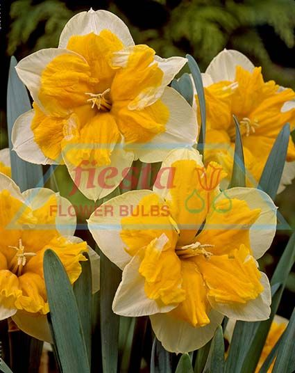 http://www.fiestabulbs.co.nz/products/images/Orangery(1).jpg