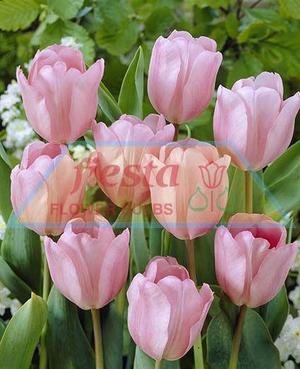 Pink Diamond Tulips Spring Bulbs Flower Bulbs ::. Fiesta ... - photo #40