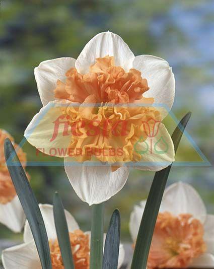 http://www.fiestabulbs.co.nz/products/images/grjo00353_Hungarian_Rapsody(1).jpg