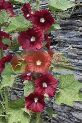Holly Hock - Henry Red