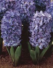 Blue Potted Hyacinth