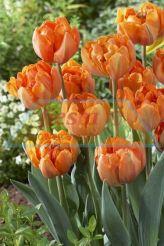 Orange Pincess