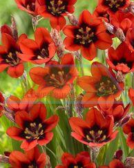Red Reflex