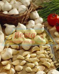 Printanor Garlic