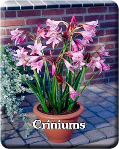 Crinium Flower Bulbs