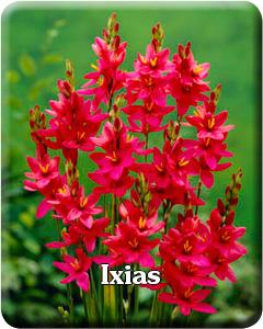 Ixia Flower Bulbs