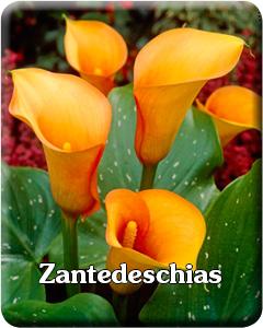 Zantedeschia Flower Bulbs