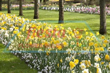 Fiesta Spring Bulbs