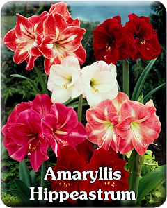 Amaryllis Hippeastrum
