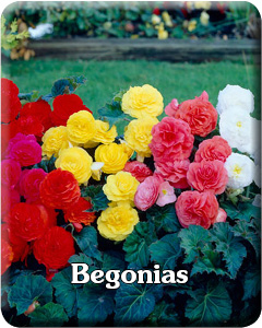Begonia Flower Bulbs