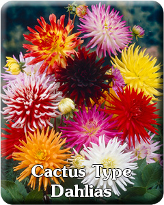 Cactus Dahlia Flower Bulbs