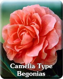 Camelia Type Begonias