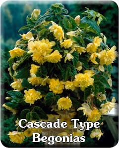 Cascade Type Begonias