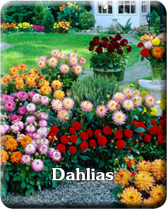 Dahlias Flower Bulbs