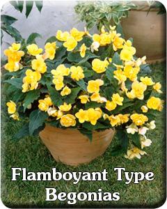 Flamboyant Type Begonias