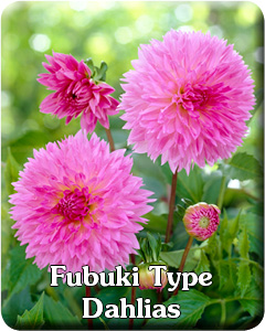 Fubuki Dahlia Flower Bulbs