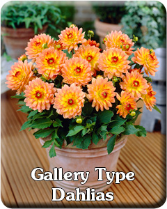 Gallery Dahlia Flower Bulbs