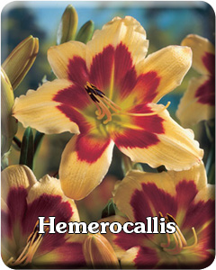 Potted Hemerocallis