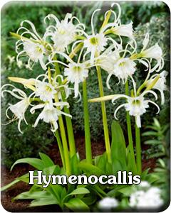 Hymenocallis Flower Bulbs