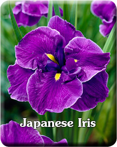 Potted Japanese Iris
