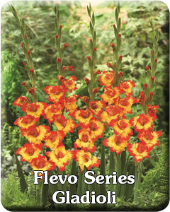 Flevo Series Flower Bulbs