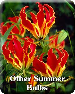 Summer Bulbs other