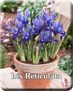 Iris Reticulata Flower Bulbs