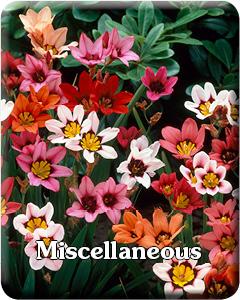 Misc Spring Bulbs