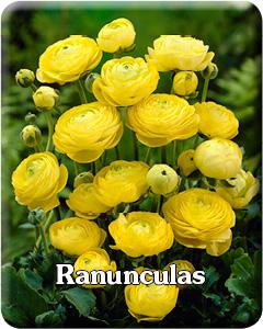 Ranunculas Flower Bulbs