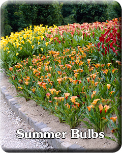Summer Bulbs