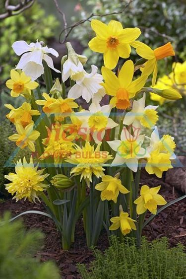 https://www.fiestabulbs.co.nz/products/images/Daff Miniature mixed.jpg