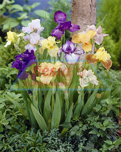 https://www.fiestabulbs.co.nz/products/images/Mixed_Bearded_Iris.jpg