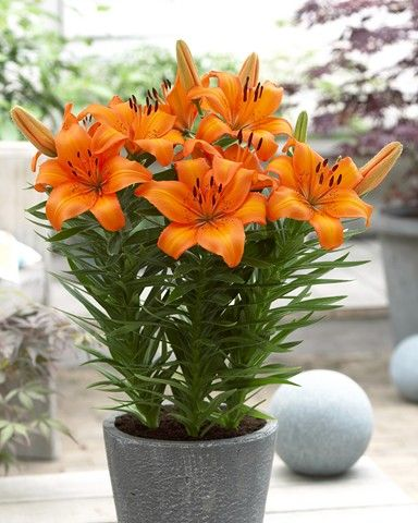 Asiatic Patio Orange Potted Lilies Potted Bulbs Fiesta