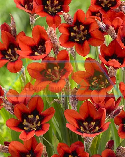 sparaxis red reflex sparaxis spring bulbs flower bulbs fiesta bulb