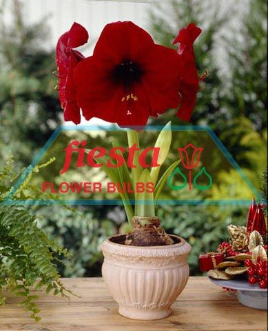 Royal velvet giant connoisseurs amaryllis hippeastrum for Amaryllis royal red arrosage